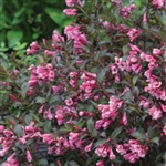 Wine & Roses®Weigela-WINE & ROSES Weigela florida 'Alexandra' Deciduous Shrub Zone 4.