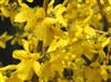 FORSYTHIA Intermedia 'KARL SAX' YELLOW BLOOMS SPRING 7-10' Z 5