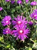 Hardy Ice Plant-Delosperma cooperi Ground cover Zone 5