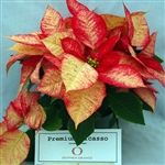 PICASSO POINSETTIAS-Euphorbia pulcherrima-Annual Holiday Plant Zone 9+ Tropical