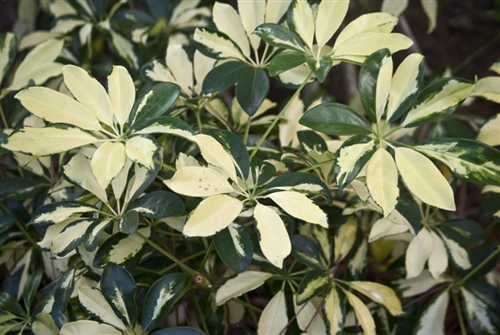 Schefflera arboricola 39 variegata 39 variegated dwarf - Schefflera variegata ...