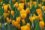 CROCUS GIANT YELLOW- Crocus vernus Bulb Perennial 'Golden Yellow' Zone 3