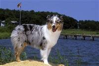 Australian Shepherd Blue Merle Photographic Floor Mat www.SaltyPaws.com