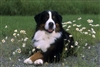 Bernese Mountain Dog Photographic Floor Mat www.SaltyPaws.com