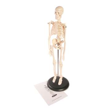 Skeleton Model 17In By American Educational