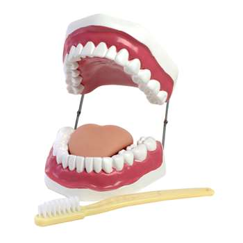 Oral Hygiene Model By American Educational