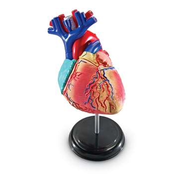 Model Heart Anatomy By Learning Resources