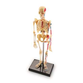 Model Skeleton By Learning Resources