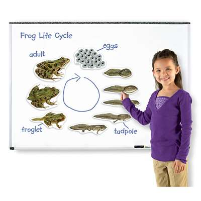 Giant Magnetic Frog Life Cycle By Learning Resources