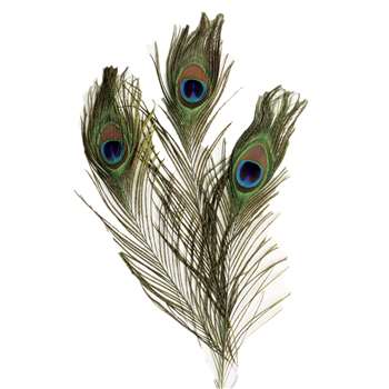 Extra Long Peacock Feathers, PACAC4521