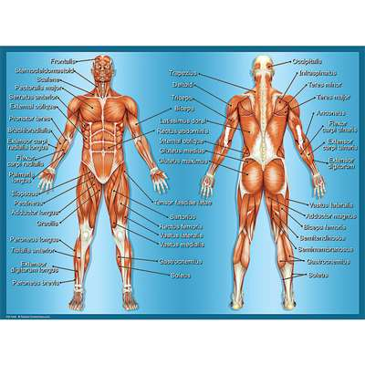 Muscles Chart By Teacher Created Resources