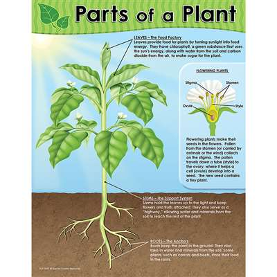 Parts Of A Plant Chart By Teacher Created Resources