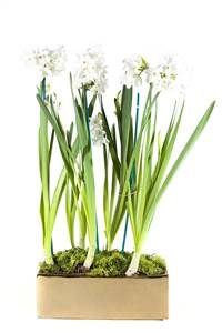 Paperwhites On Parade