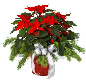 Poinsettia Magic (We are sorry by this item sold out for Xmas 2014)
