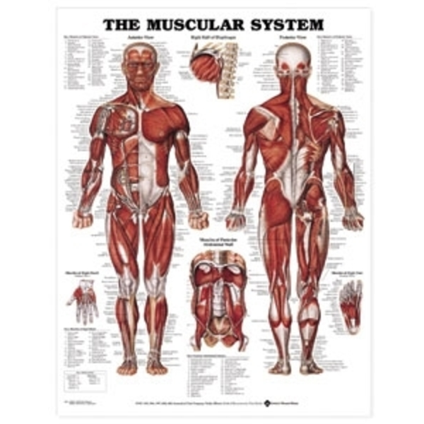 Muscular System Chart Laminate (AC-08)