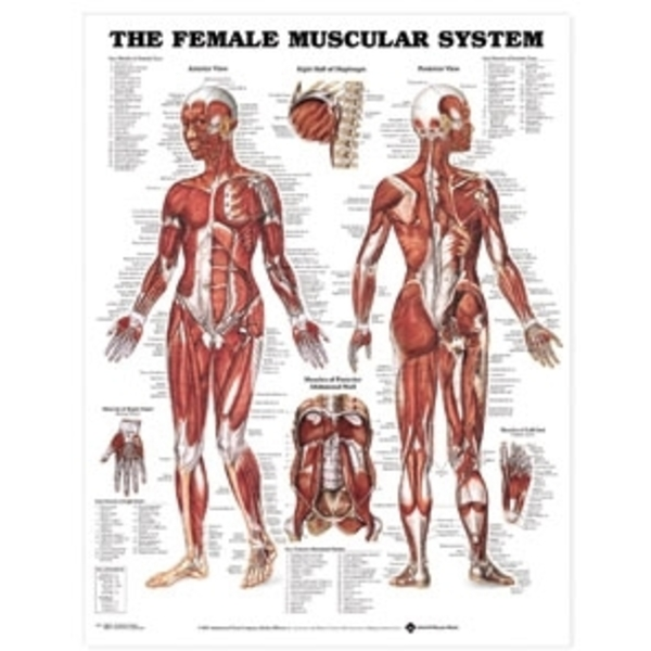 Female Musular System Chart Laminated (AC-10)