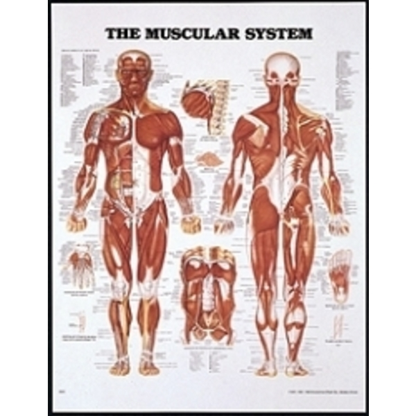 Muscular System Chart