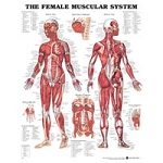 Chart Female Muscular System 1.5 Mil 20x26 (573 01