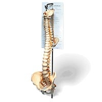 Model Full Spine And Femur Heads with Stand (734 0