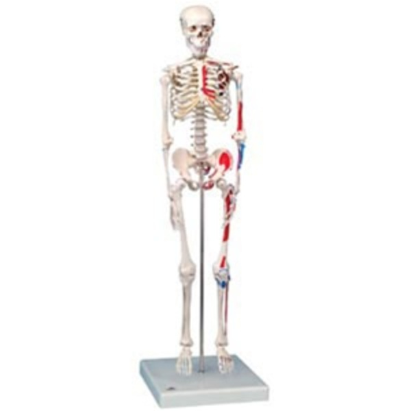 "Mini Skeleton ""Shorty"" with Painted Muscles / On Hanging Stand (734 0061)"
