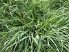 Dallis Grass Seed - 20 Lbs.