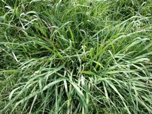 Dallis Grass Seed - 55 Lbs.