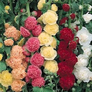 Hollyhock Chater's Double Mixed Colors Seed Heirloom - 1 Packet