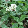 Louisiana S-1 White Clover Seed - 5 Lbs.