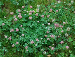 Alsike Clover Seed - 5 Lbs.