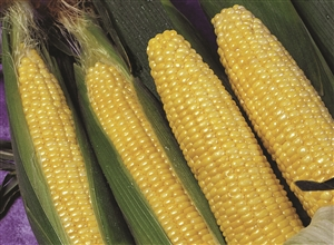 Sweet Corn Applause Synergistic Hybrid Seed - 1 Packet
