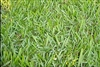 Argentine Bahia Pasture Grass Seed - 5 Lbs.