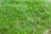 Bermuda Grass Seed Common Hulled - 10 Lbs.