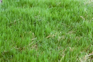 Bermuda Grass Seed Common Hulled - 20 Lbs.