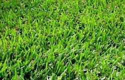Bermuda Grass Seed Common Raw Unhulled - 20 Lbs.