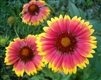 Blanketflower Seed - 1 Packet