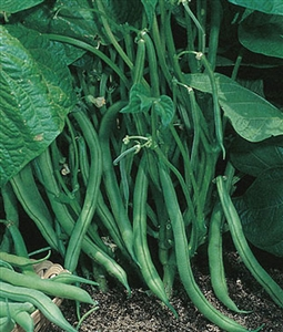 Garden Bean Bush Blue Lake Seed - 1 Packet