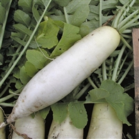 Radish Chinese White Seed Heirloom - 1 Packet