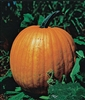 Pumpkin Connecticut Field Seed - 1 Packet