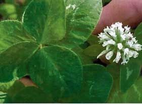 California Ladino Clover Seed - 50 Lbs.