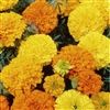 Marigold Crackerjack Seed - 1 Packet