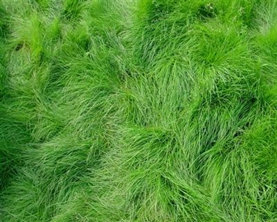 Creeping Red Fescue Grass Seed - 50 Lbs.