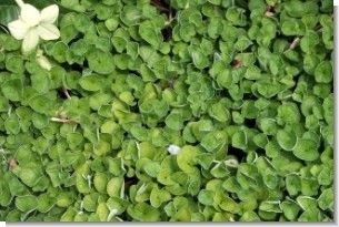 Dichondra Repens Seed - 50 Lbs.