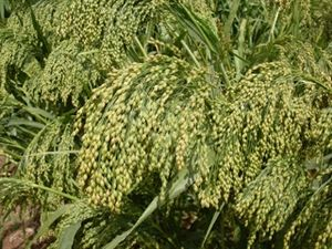 Dove Proso Millet Seed -10 Lbs.