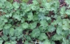 Dwarf Siberian Improved Kale Seed - 5 Lbs.