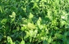 Gallant Red Clover Seed - 10 Lbs.