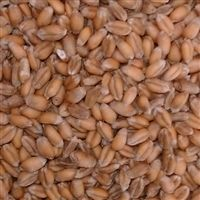 Georgia Gore Wheat Seed - 1 Lb.