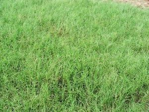 Giant Bermuda Grass Seed Hulled - 5 Lb.