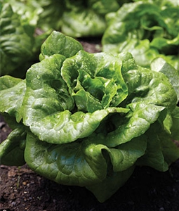 Lettuce Buttercrunch Seed Heirloom - 1 Packet