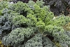 Kale Vates Dwarf Blue Curled Seed Heirloom - 1 Packet