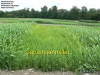Japanese Millet Seed - 1 Lb.